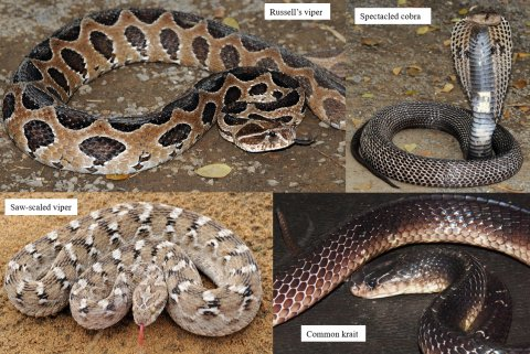 India's four most dangerous snakes: Russell's viper (Daboia russelii); saw-scaled viper (Echis carinatus sochureki); spectacled (common) cobra (Naja naja); and common krait (Bungarus caeruleus).