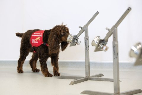 Asher (pictured) is one of six dogs being trained to detect COVID-19 infection through odour samples collected from thousands of participants.