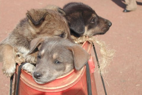 Young puppies make up a large proportion of the dog population in Africa and need be vaccinated to ensure sufficiently-high levels of population immunity. Photo: Carnivore Disease Project, Tanzania